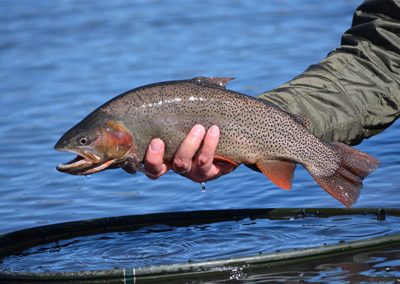 Dream Stream Cutthroat trout.