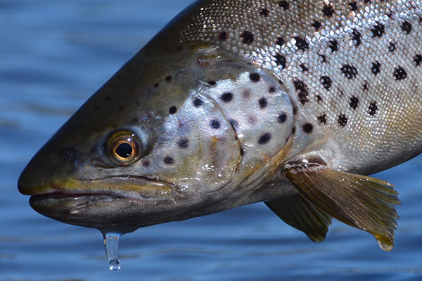dream-stream-brown-trout_lake-run-trout_spinney-brown-trout
