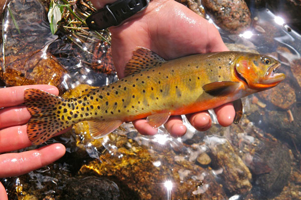 greenback-cutthroat-trout_RMNP