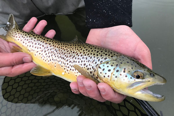 High_mountain_brown_trout