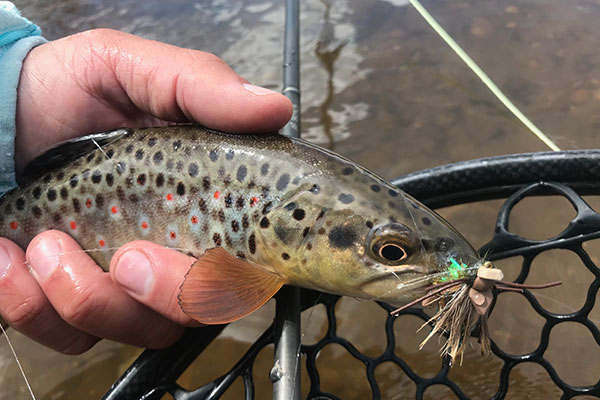 brown_trout_amys_ant