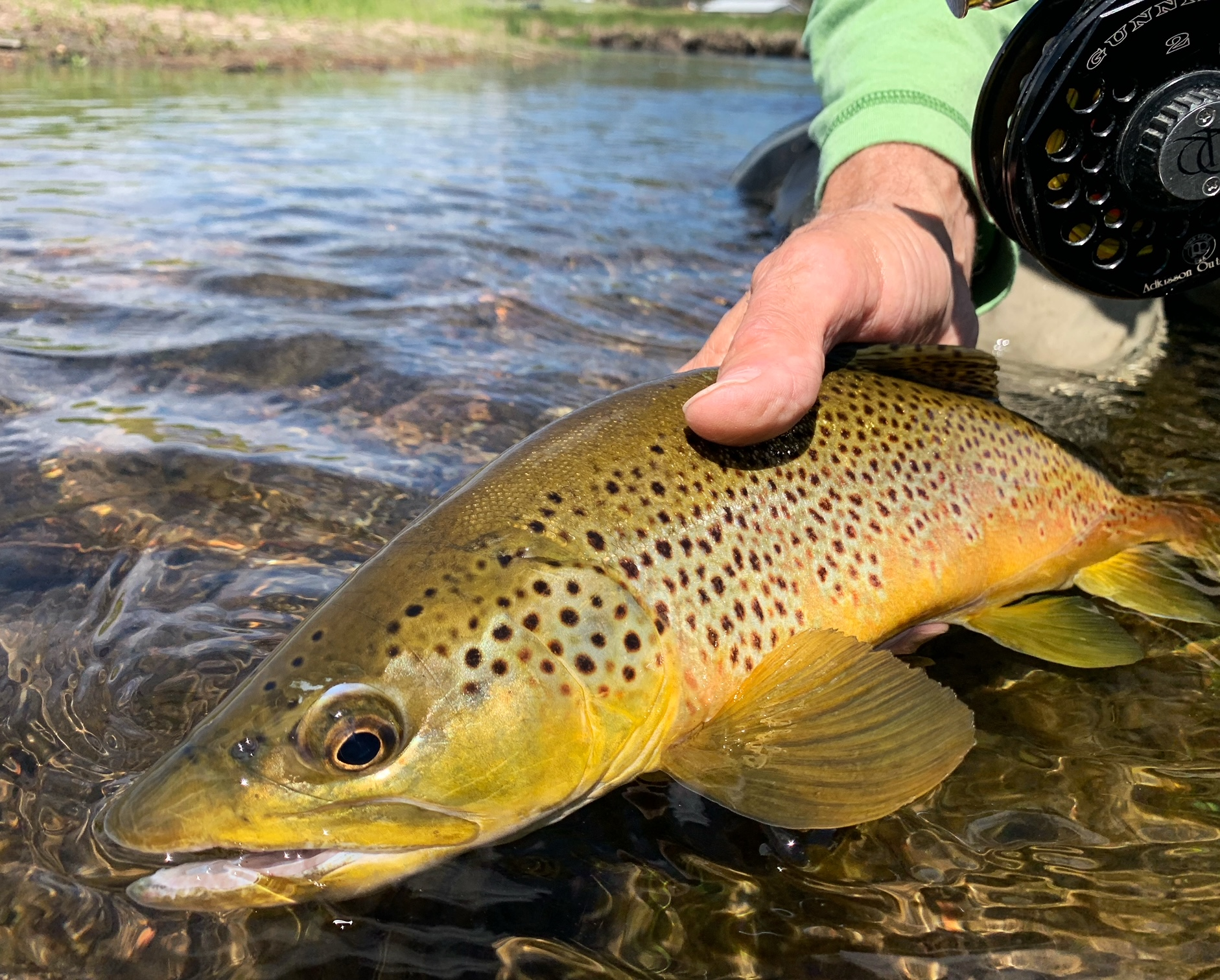 Private water brown trout caught on a dry fly.